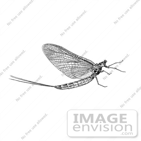 Picture of a Mayfly (Ephemeroptera).
