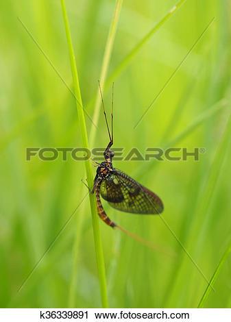 Stock Photography of closeup of mayfly (Ephemeroptera) on leaf.
