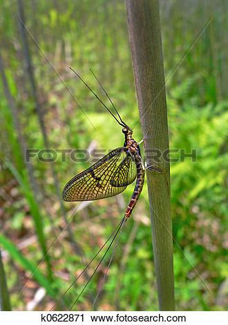 Stock Photography of Mayfly (Ephemeroptera) k0622871.