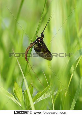 Stock Photo of closeup of mayfly (Ephemeroptera) on leaf k36339812.