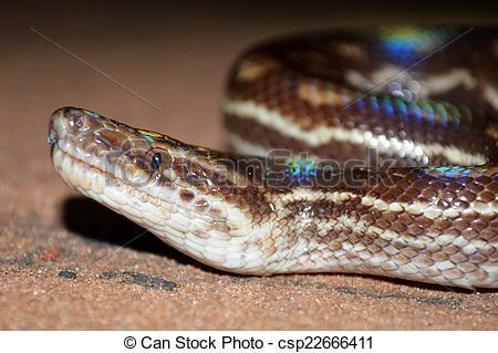 Stock Photography of Rainbow boa snake.