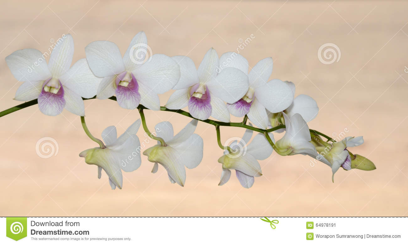 Thai Orchid Stock Photo.