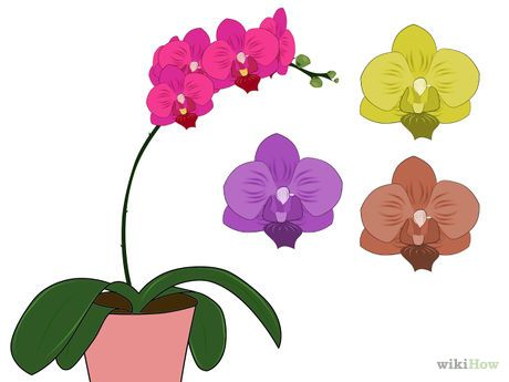 1000+ ideas about Moth Orchid on Pinterest.