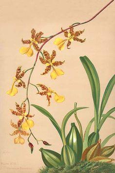 Warner Orchid Album Antique Prints 1882.