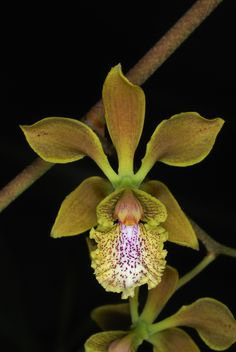 Monkey Orchid.