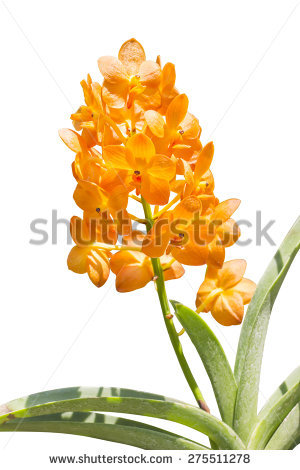 Epidendroideae Stock Photos, Images, & Pictures.