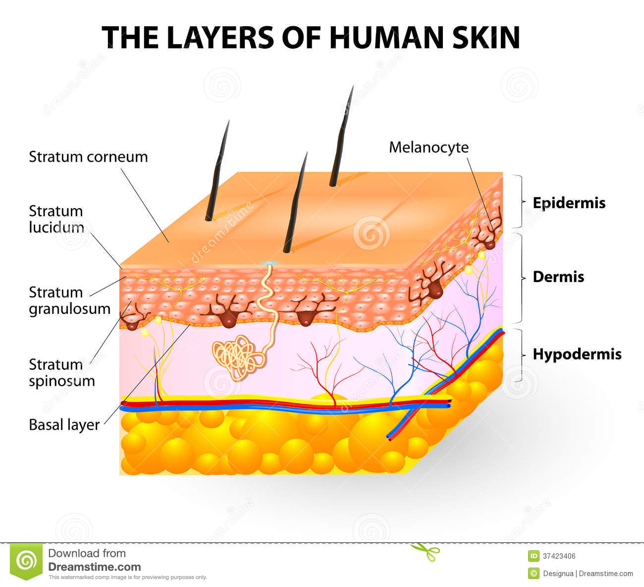 Layers Of Human Skin. Melanocyte And Melanin Royalty Free Stock.