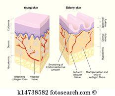 Epidermis Clipart Royalty Free. 355 epidermis clip art vector EPS.