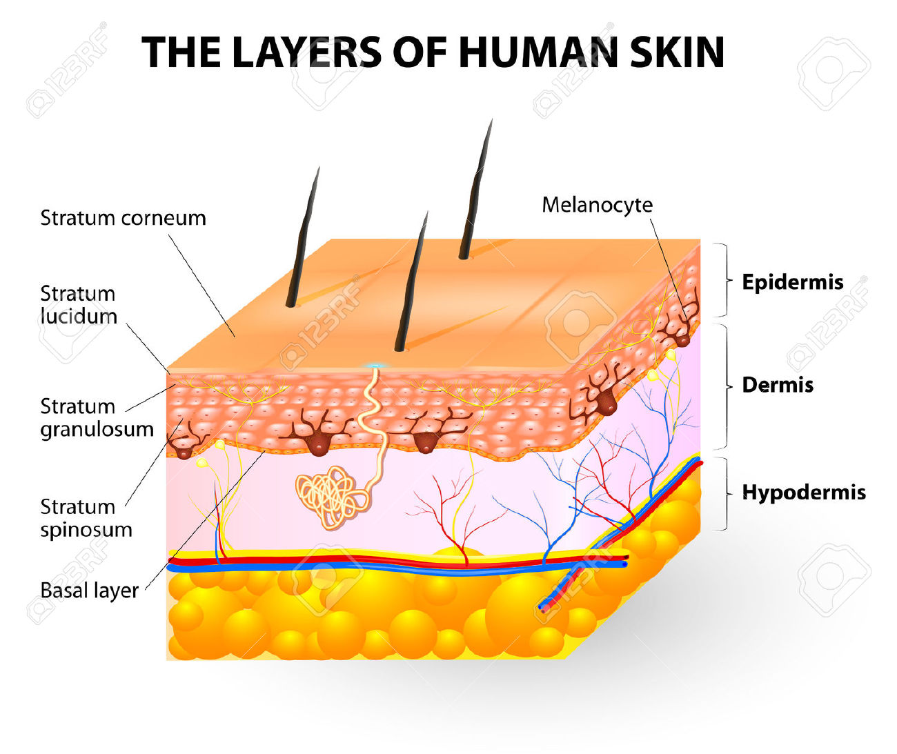 Melanocyte And Melanin Layers Of Epidermis Royalty Free Cliparts.