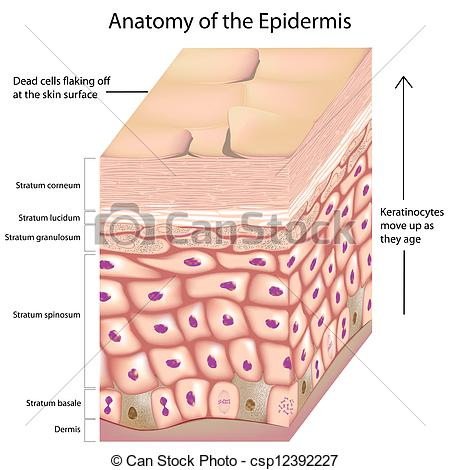 Vector Illustration of 3d anatomy of the epidermis.