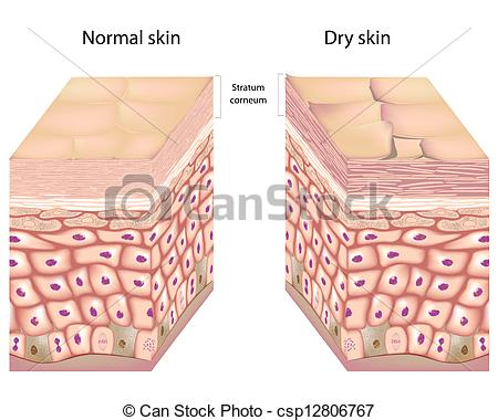 Epidermis Illustrations and Clipart. 769 Epidermis royalty free.