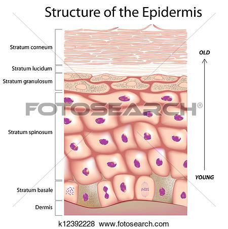 Clip Art of Epidermis of the skin k12392228.