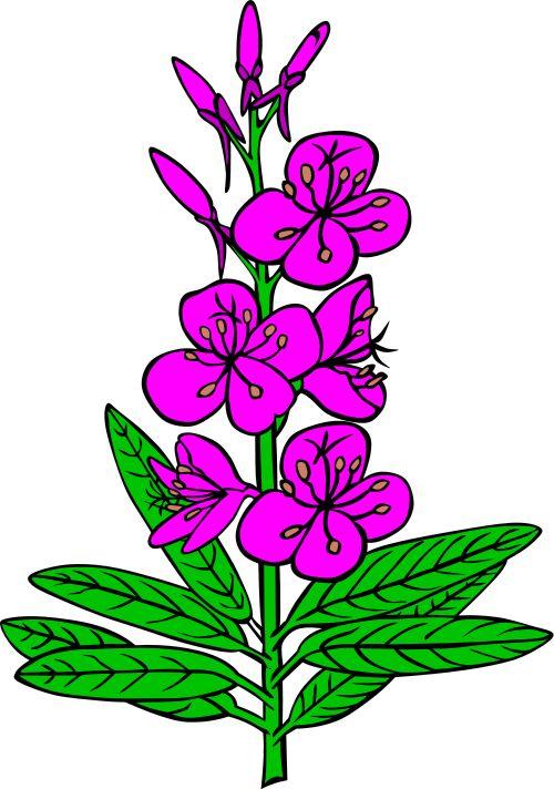 Fireweed Epilobium angustifolium.