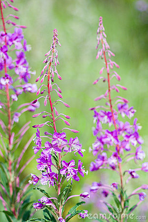 Fireweed .blooming Sally Stock Photography.