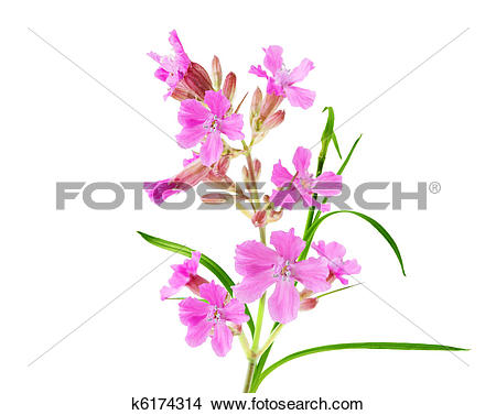Fireweed flower Stock Photo Images. 1,164 fireweed flower royalty.