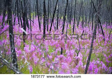 Picture of fireweed, or rosebay willowherb (epilobium.