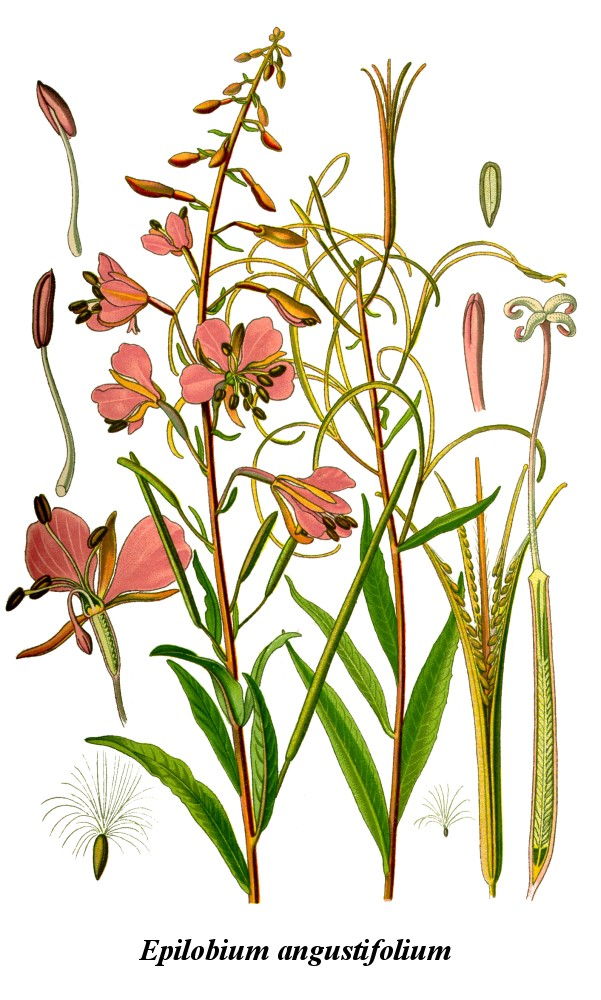 Gallery For > Epilobium Angustifolium Fireweed Clipart.