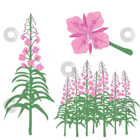 Fireweed stock vector.