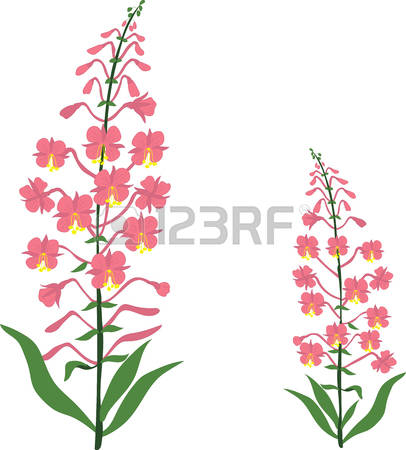 126 Fireweed Cliparts, Stock Vector And Royalty Free Fireweed.