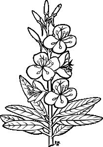 Ku Epilobium Angustifolium Outline Clip Art at Clker.com.