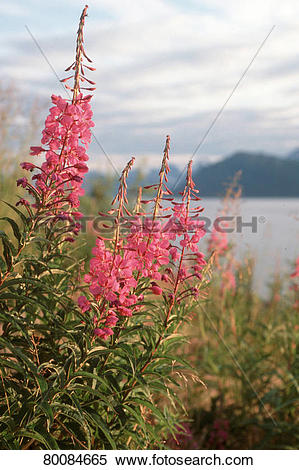 Stock Image of DEU, 2003: Common Fireweed, Rosebay Willow Herb.