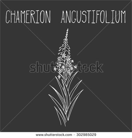 Epilobium Stock Vectors & Vector Clip Art.