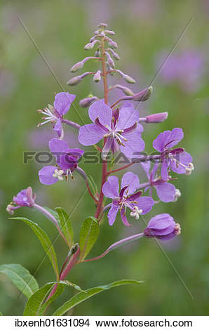 Stock Photo of Fireweed or Rosebay Willowherb (Epilobium.