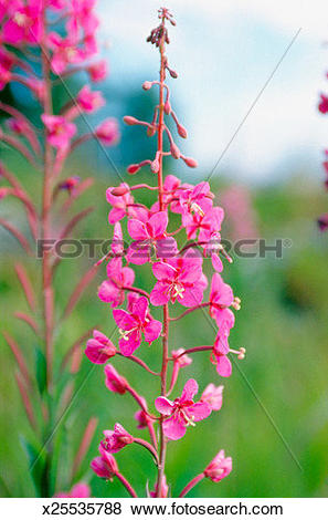 Pictures of Flowers of a fireweed plant, Alaska, USA (Epilobium.