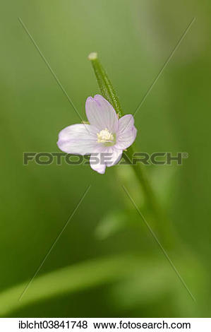 "Pictures of ""Smallflower Hairy Willowherb (Epilobium parviflorum."