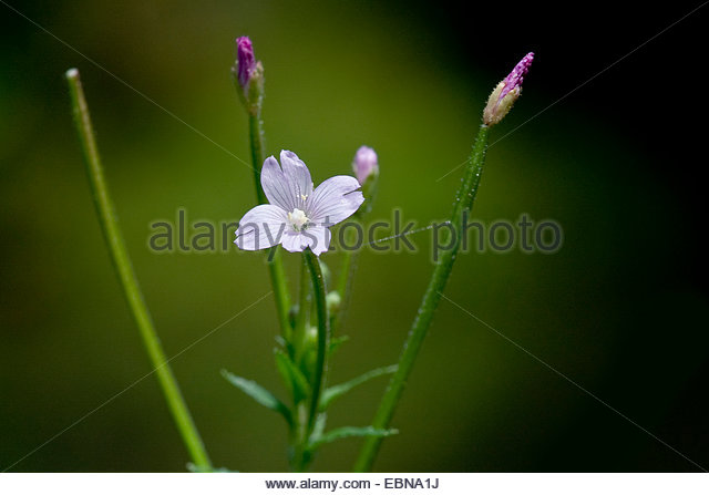 Small Flowered Hairy Stock Photos & Small Flowered Hairy Stock.