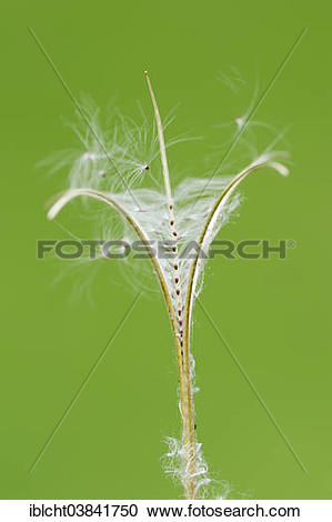 "Stock Photography of ""Smallflower Hairy Willowherb (Epilobium."