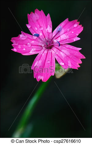 Stock Photography of wild violet carnation parviflorum epilobium.