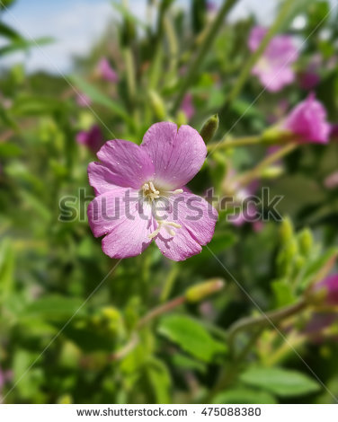 Epilobium Stock Photos, Royalty.