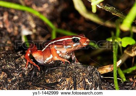 Stock Photograph of PHANTASMAL POISON FROG epipedobates tricolor.