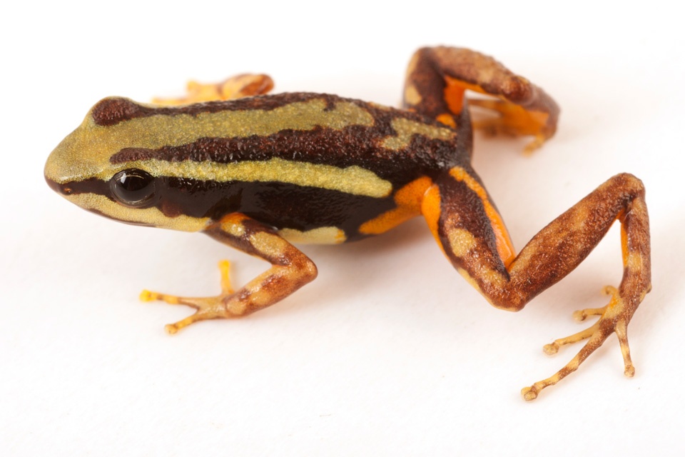 Epipedobates Tricolor 'rio'.