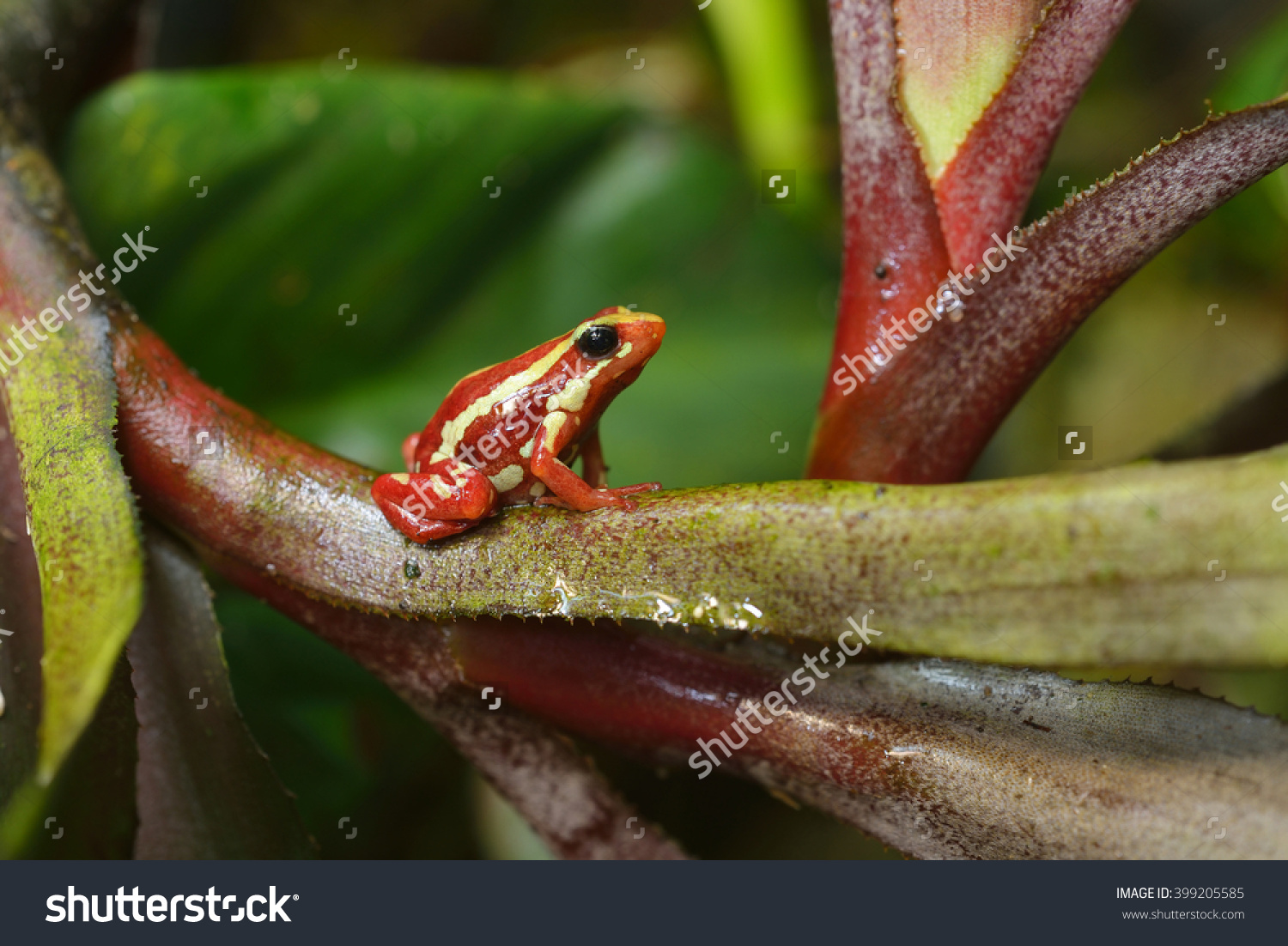 Small Striped Red Frog Epipedobates Tricolor Stock Photo 399205585.