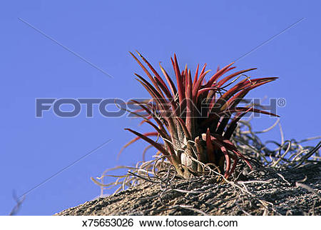 Stock Images of Bromeliad or air plant, epiphyte member of.