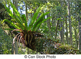 Pictures of Epiphyte on a tree in the Rainforest.