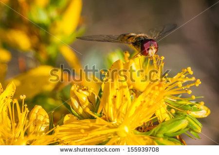 Episyrphus Balteatus Stock Photos, Images, & Pictures.