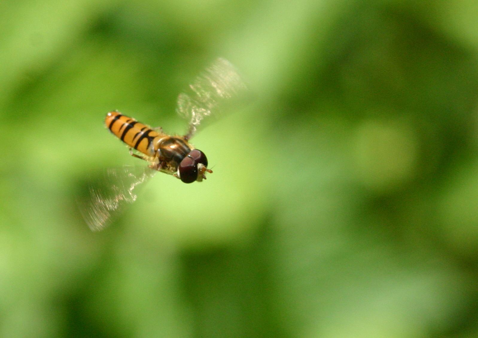 Marmalade Hoverfly.