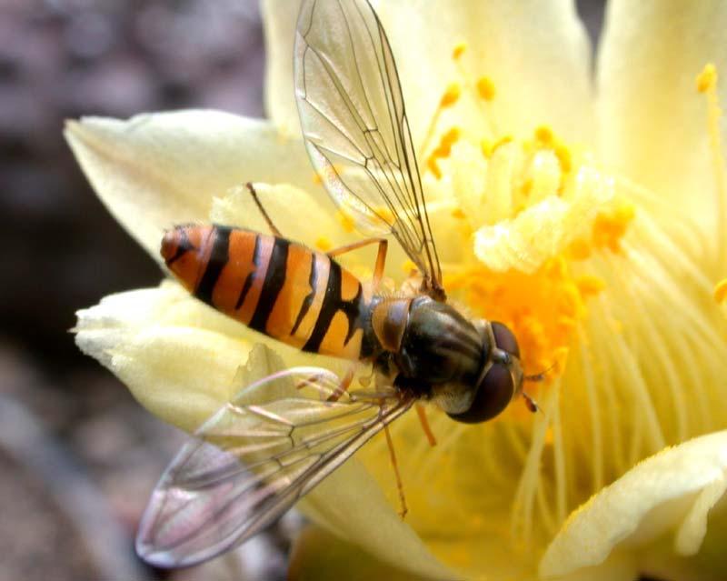 Episyrphus balteatus (Marmalade hoverfly) (Syrphus balteaus).