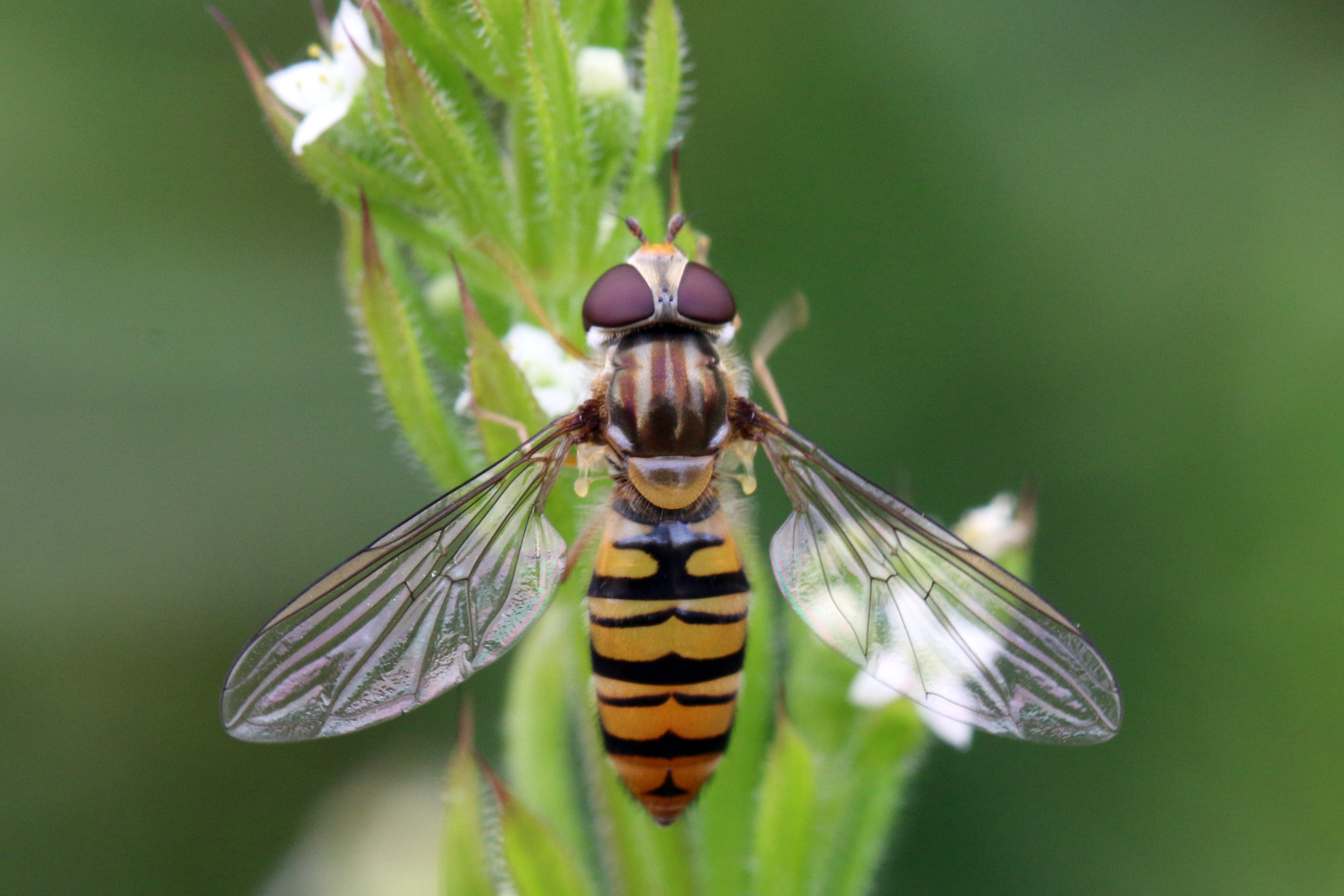 File:Marmalade hoverfly (Episyrphus balteatus) female.jpg.