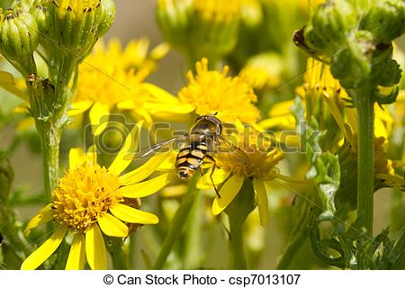 Picture of Hoverfly on ragwort..