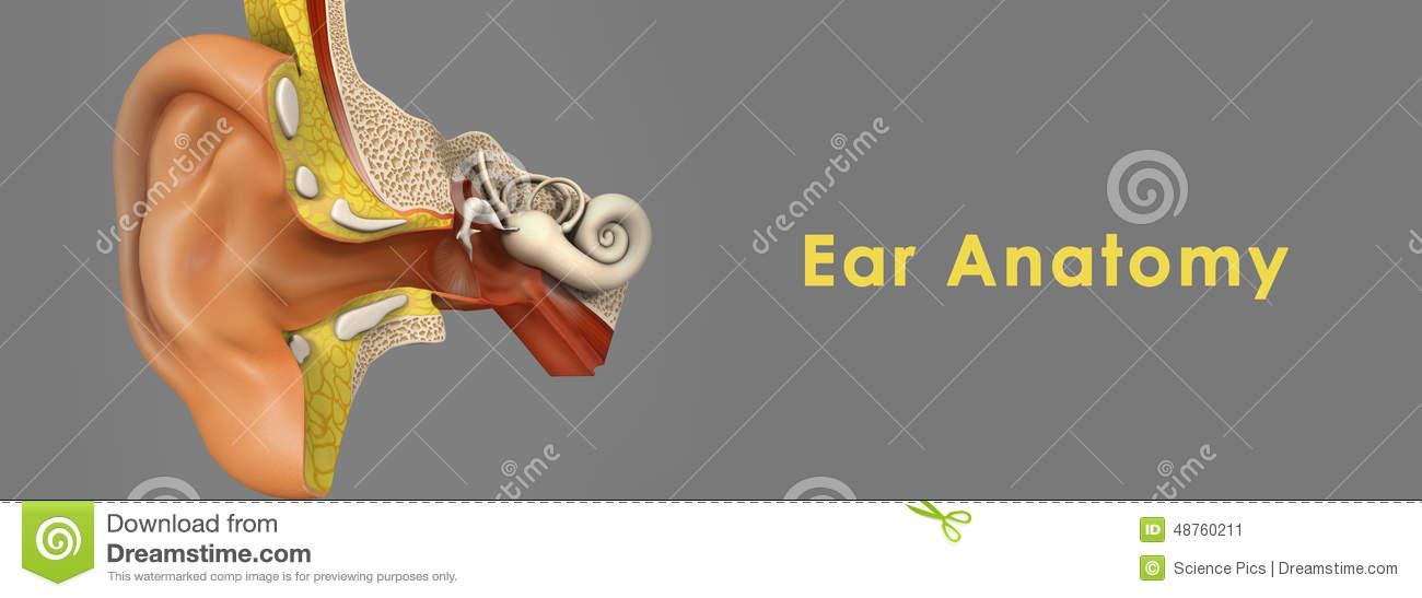 Ear Anatomy Stock Illustration.