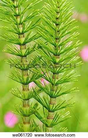 Stock Photography of Horsetail (Equisetum arvense) we061720.