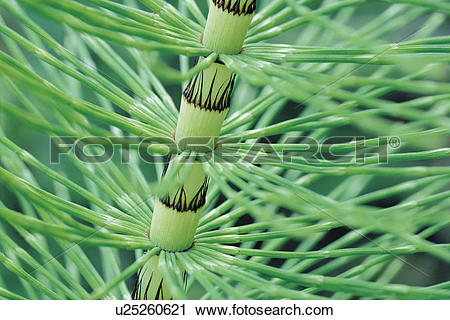 Stock Photography of Horsetail Stem close up (Equisetum) u25260621.