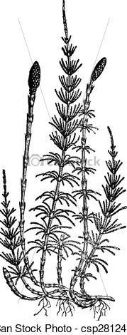Vector of Equisetum sylvaticum (horsetail), vintage engraving.