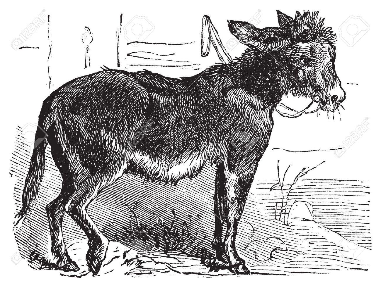 Domesticated Donkey, Ass, Asinus Vulgaris Or Equus Africanus.