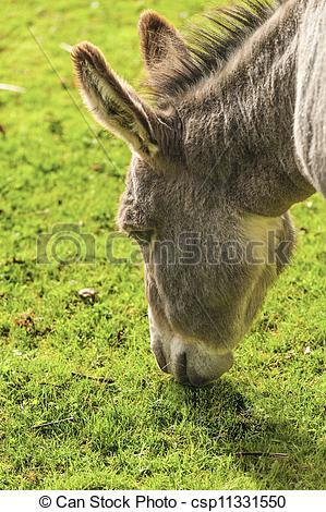 Stock Images of Donkey Equus africanus asinus.
