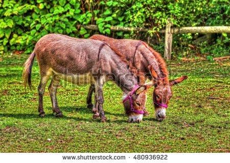 Equus Africanus Asinus Stock Photos, Royalty.